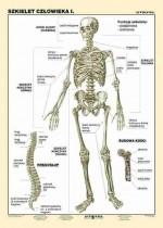 Szkielet człowieka cz. I