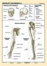 Szkielet człowieka cz. II