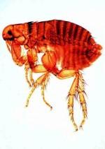 Owady: Diptera, Aphanoptera - zestaw 15 preparatów