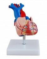MA-307A  Model serca - rozmiar rzeczywisty