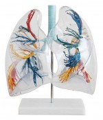MA-330  Przezroczysty model płuc