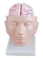 MA-318  Model głowy ludzkiej