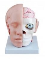 MA-318B  Model głowy ludzkiej